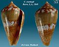 Conus cumingii 1.jpg