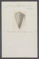 Conus fergusoni - - Print - Iconographia Zoologica - Special Collections University of Amsterdam - UBAINV0274 086 02 0054.tif