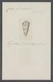 Conus generalis - - Print - Iconographia Zoologica - Special Collections University of Amsterdam - UBAINV0274 086 07 0048.tif