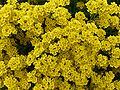 Corbeille d'or (Alyssum saxatile).JPG
