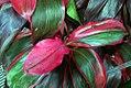 Cordyline fruticosa Ruby Red 0zz.jpg