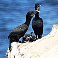 Cormorant Family (9225597047).jpg