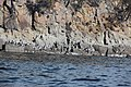 Cormorants on the rocky coast - Pennicott Bruny Island cruise (33874103576).jpg