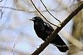 Corvus corone 121570043.jpg