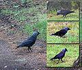 Corvus monedula Choucas des tours Citadelle.jpg