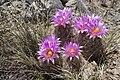 Coryphantha vivipara - Flickr - aspidoscelis.jpg