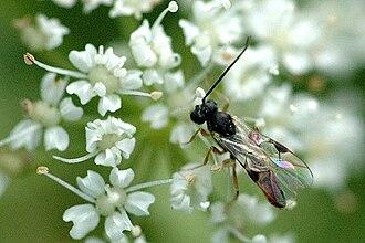 Braconidae - Image: Cotesia.melanoscela. .lindsey