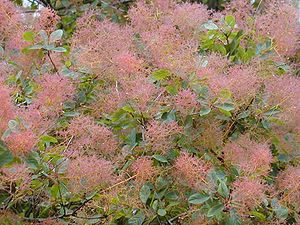 Cotinus coggygria - Foliage and seed heads
