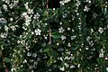 Cotoneaster-dammeri-flowering.JPG