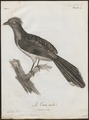 Coua cristata - 1796-1808 - Print - Iconographia Zoologica - Special Collections University of Amsterdam - UBA01 IZ18800113.tif