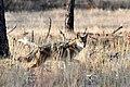 Coyote (5482412726).jpg