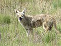Coyote Eating a Vole, Photo 2 of 2 (42045745402).jpg