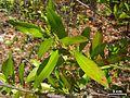 Crabwood or Oysterwood - Flickr - pellaea (4).jpg