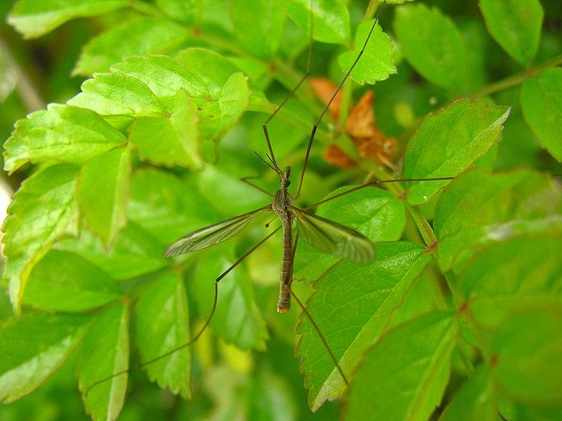 File:Crane fly 00 Mosquito eue.jpg