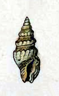<i>Crassispira pseudocarinata</i> Species of gastropod