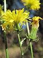Crepis setosa inflorescence (06).jpg