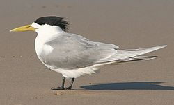 Crested Tern breeding plumage.jpg