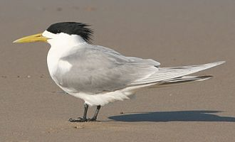 Greater crested tern - Breeding plumage in New South Wales
