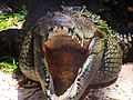 Crocodile at Cayman Turtle Farm.jpg