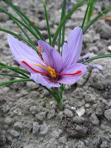 Ήμερος κρόκος - Crocus sativus