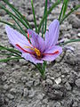 Crocus sativus 02 by Line1.JPG
