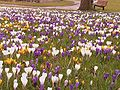 Crocusses in park 2.jpg