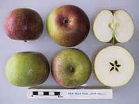 Cross section of New Bess Pool, National Fruit Collection (acc. 1929-036).jpg