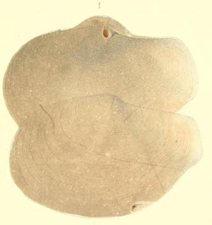 Offadesma angasi (aus Crosse & Fischer, 1865: Taf. 11, Fig. 1, Holotyp.[1])
