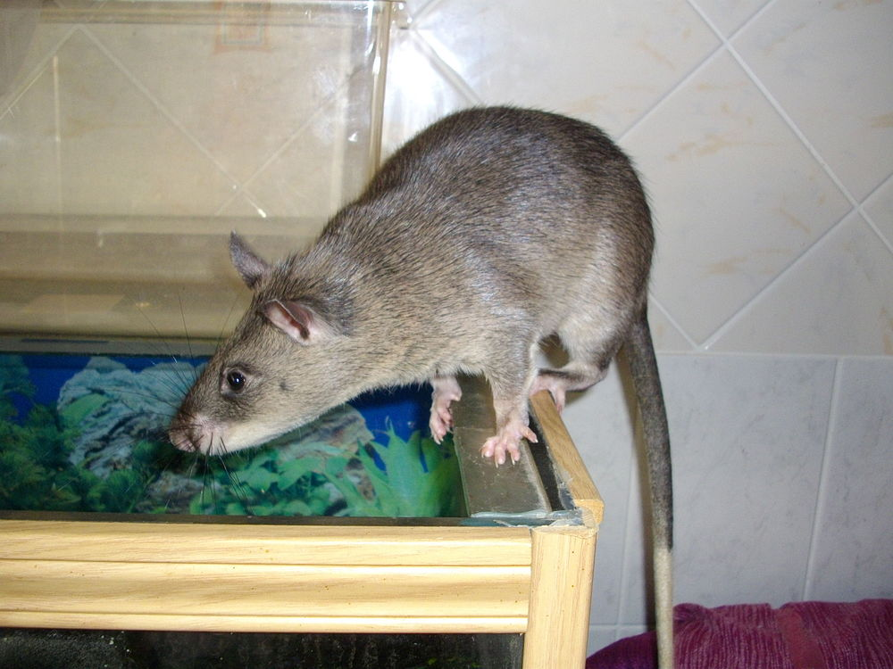 The average adult weight of a Gambian pouched rat is 1.27 kg (2.8 lbs)