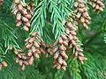 Cryptomeria japonica (Male Cone).jpg