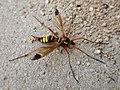 Ctenophora ornata (Tipulidae) - (female imago), Nijmegen, the Netherlands.jpg