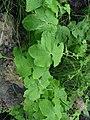 Cucurbitaceae sp.? (5517131628).jpg