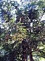 Cunninghamia lanceolata 2zz.jpg