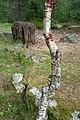 Curvy birch and chopping block at Fjällastugan.jpg