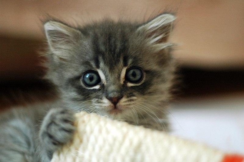 File:Cute grey kitten.jpg