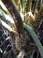 Cyathea cooperi (Hook. ex F.Muell.) Domin (AM AK363566-4).jpg