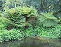 Cyathea dregei - Common Tree Fern - Cape Town.jpg