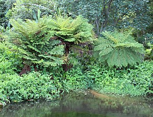 Cyathea dregei - The Common Tree Fern is often found growing beside rivers, like this one near Cape Town.