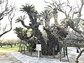Cycas revoluta in Tsunashiki Temman Shrine.jpg