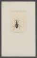 Cychrus - Print - Iconographia Zoologica - Special Collections University of Amsterdam - UBAINV0274 009 08 0003.tif