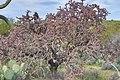 Cylindropuntia thurberi ssp. versicolor.jpg