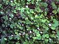 Cymbalaria muralis 3CampodeCalatrava.jpg