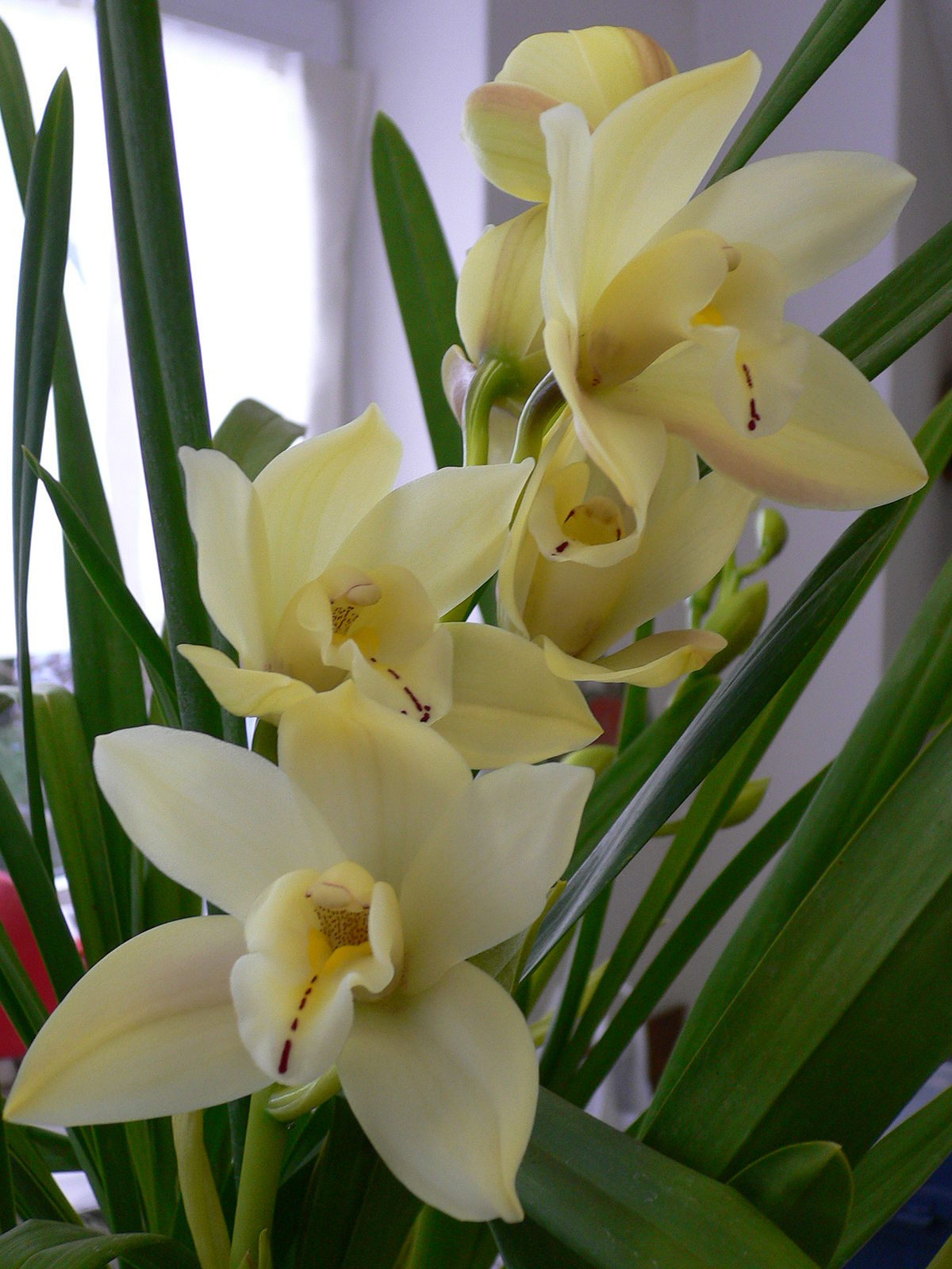 Cymbidium Wikipedia
