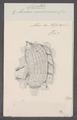 Cynthia microcosmus - - Print - Iconographia Zoologica - Special Collections University of Amsterdam - UBAINV0274 092 01 0042.tif
