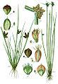 Cyperaceae spp Sturm9.jpg