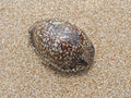 Cypraea (genus) seashell at Rushikonda 01.JPG