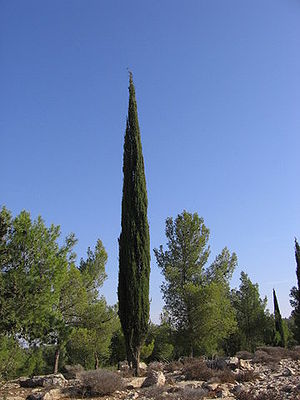 Mycale - Cypress in maquis.