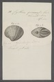 Cytherea guineensis - - Print - Iconographia Zoologica - Special Collections University of Amsterdam - UBAINV0274 078 01 0035.tif