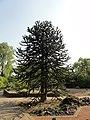 Düsseldorf Botanischer Garten Baum - panoramio.jpg