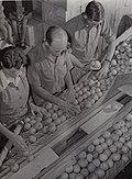 DA38.661 Grading Apples Upper Moutere.jpg